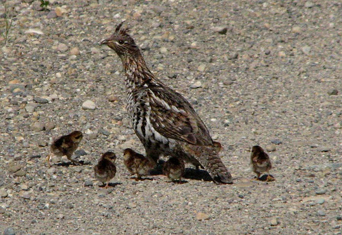 Image result for grouse with chicks