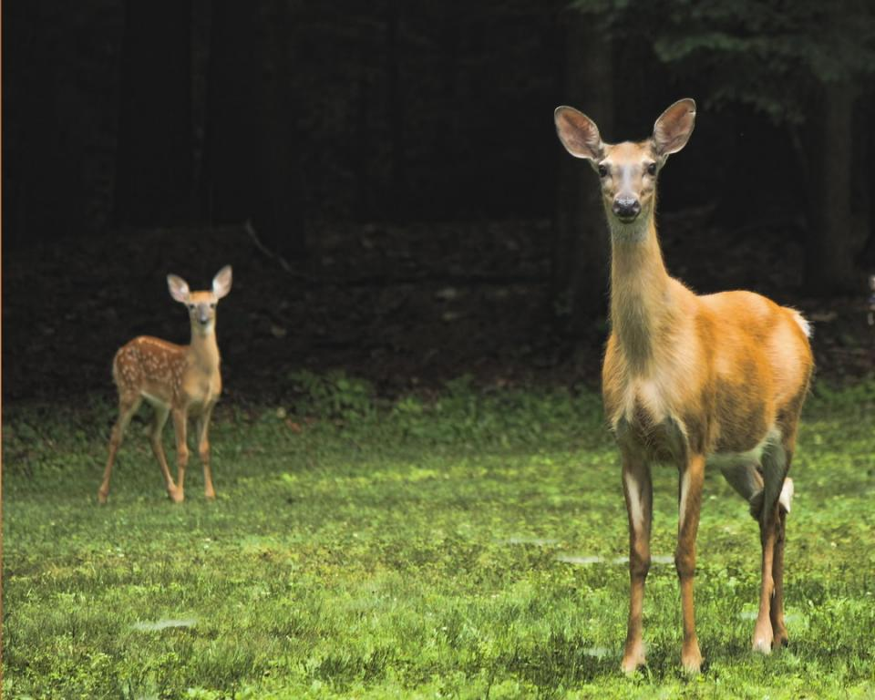 Name:  doe and Mother 7-27-15 Low Key-qpr.jpg Views: 836 Size:  86.5 KB