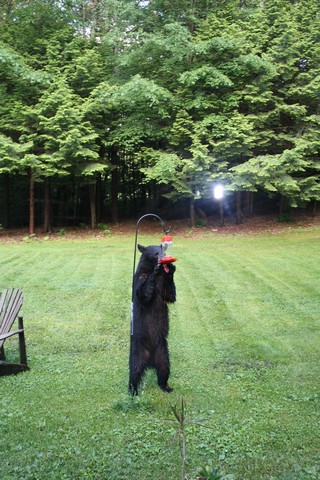 Name:  Bear 6-19 5.jpg Views: 1234 Size:  91.6 KB