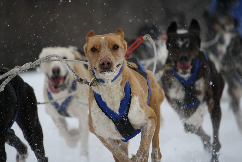 Name:  Laconia Sled Dog a smaller 10.jpg Views: 727 Size:  101.6 KB
