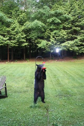 Name:  Bear 6-19 5.jpg Views: 1177 Size:  91.6 KB