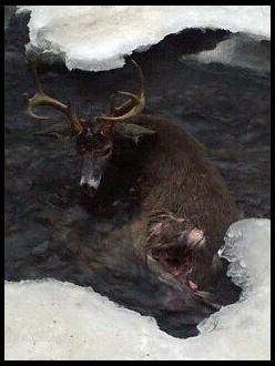 Name:  Coyote mauling.jpg Views: 1593 Size:  13.1 KB