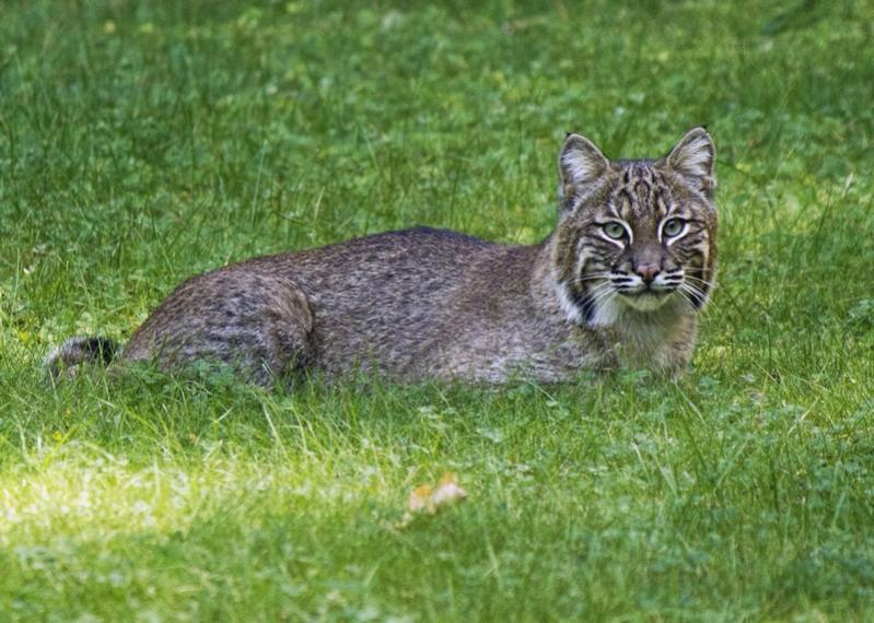 Name:  bobcat_9-17-16_in_yard.jpg