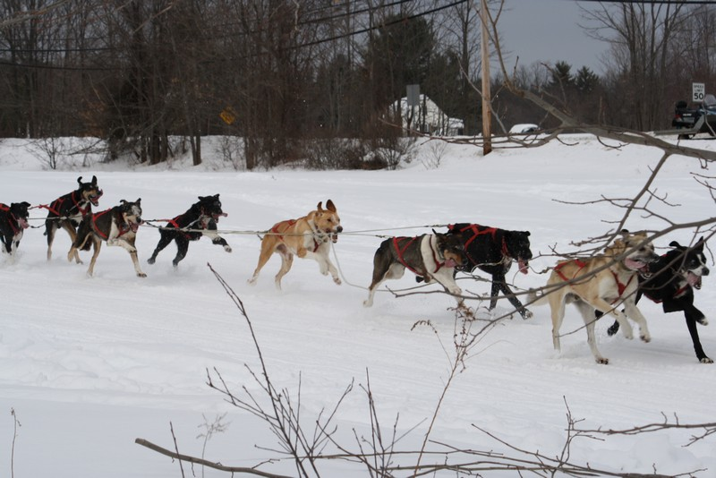 Name:  Laconia Sled Dog a smaller 01.jpg