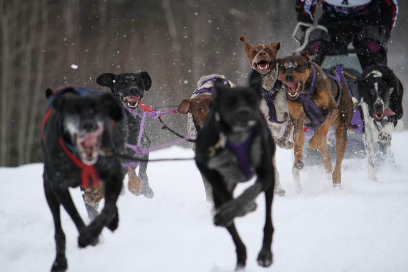 Name:  Laconia Sled Dog a smaller 05.jpg