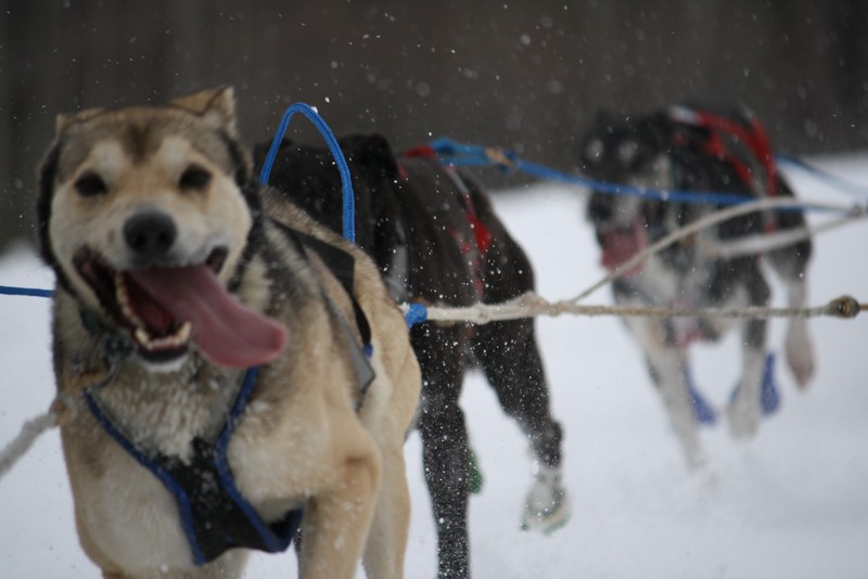 Name:  Laconia Sled Dog a smaller 11.jpg