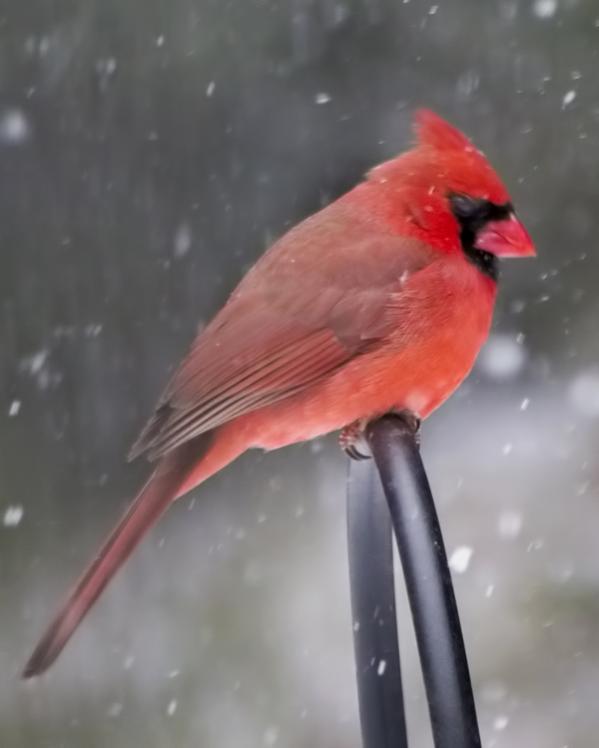 Name:  cardinal_looking_down_sea_8x10_print.jpg Views: 1476 Size:  28.5 KB