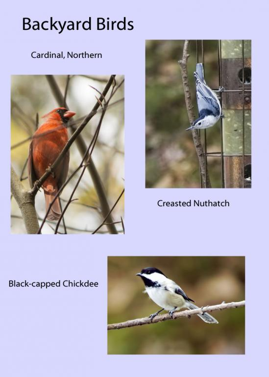 Name:  Backyard Birds_edited-1 copy.jpg Views: 998 Size:  41.9 KB