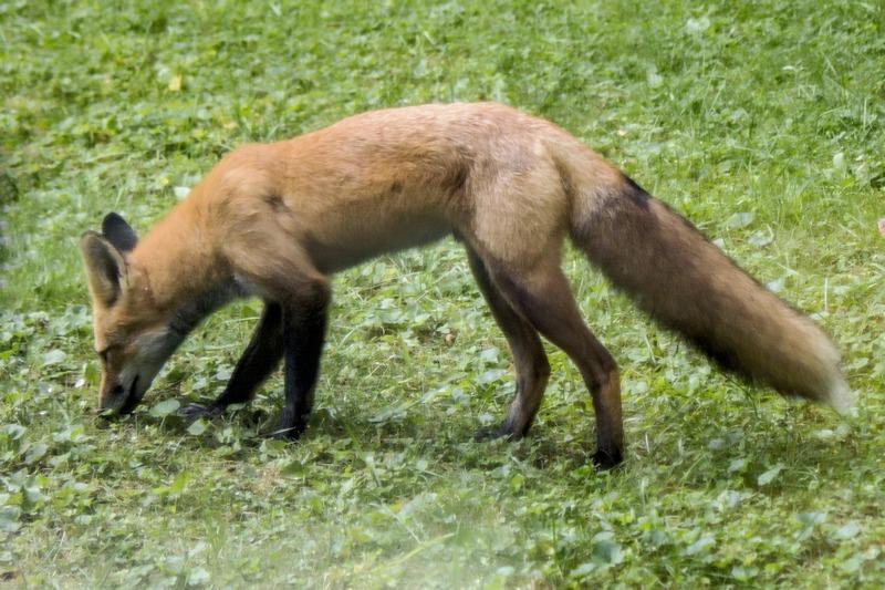 Name:  red_fox_thru_window2-qpr.jpg Views: 594 Size:  189.6 KB