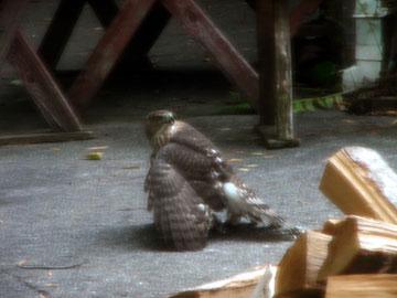 broad-wing-hawk-081007-2