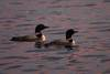 203Loons_watching_the_sunset_081305.jpg