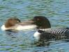 431Loon_and_Young_3.JPG